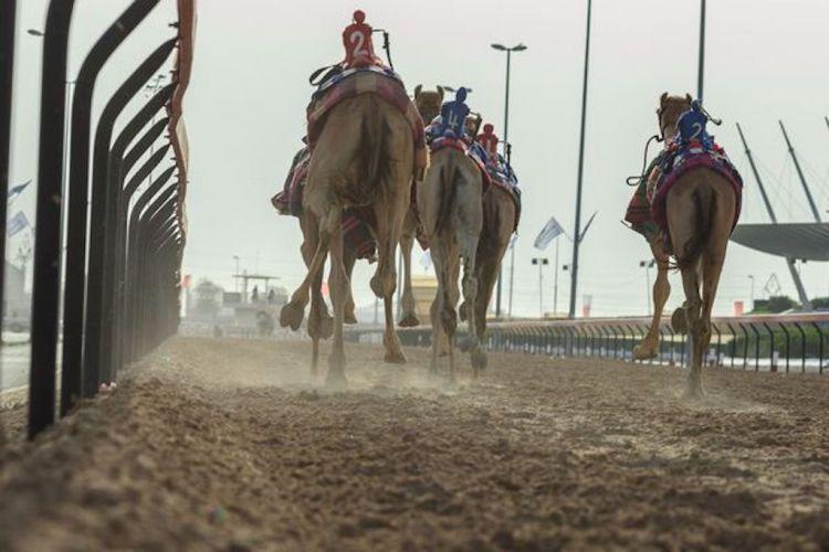 corrida de camelos dubai