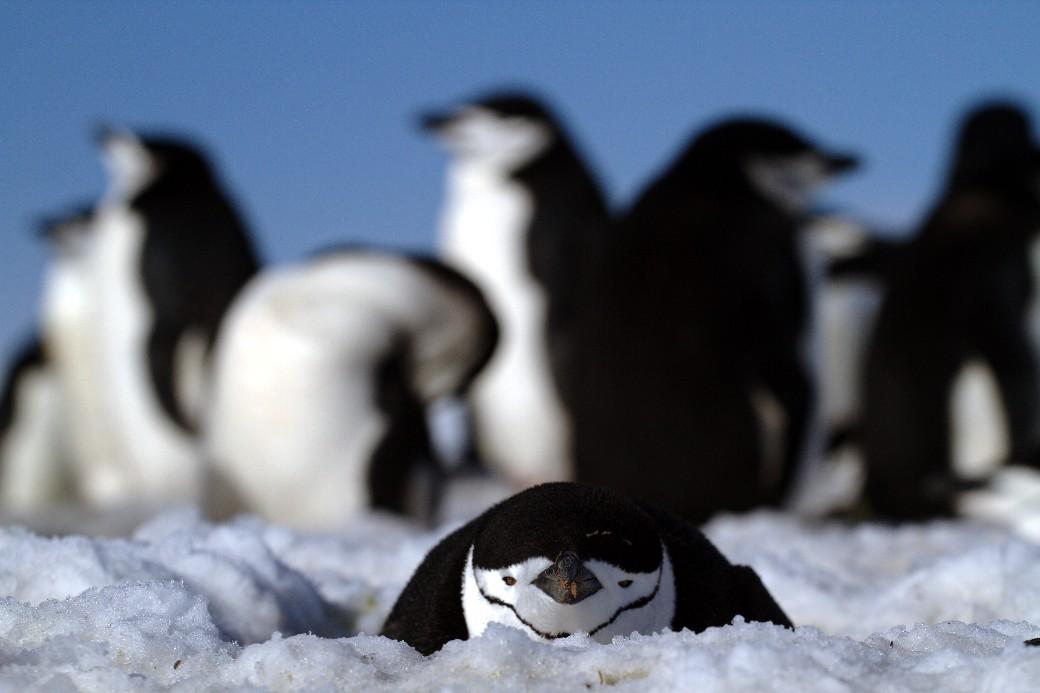 O ponguim-de-barbicha é um dos destaques da Aitacho Island, na Península Antártica (foto: Eduardo Vessoni)