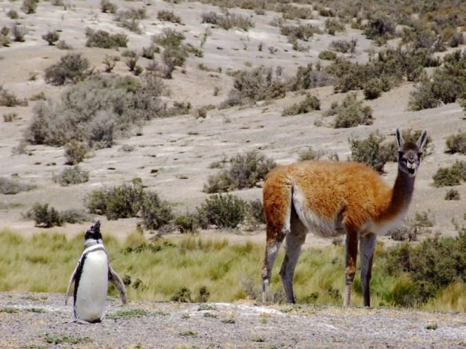 Pinguim e guanaco, em Punta Tombo, na Patagônia argentina (foto: Eduardo Vessoni)