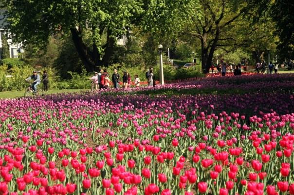 Vista do jardim de tulipas do Commissioners Park, em Ottawa (foto: Eduardo Vessoni)
