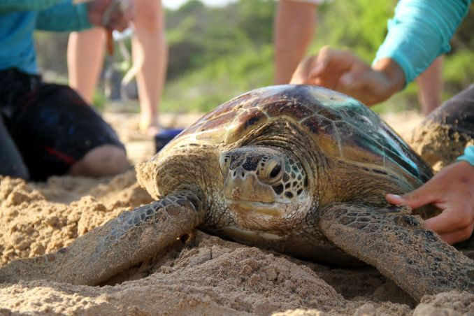 Captura Intencional de tartarugas, na Praia de Sueste, em Fernando de Noronha (foto: Eduardo Vessoni)