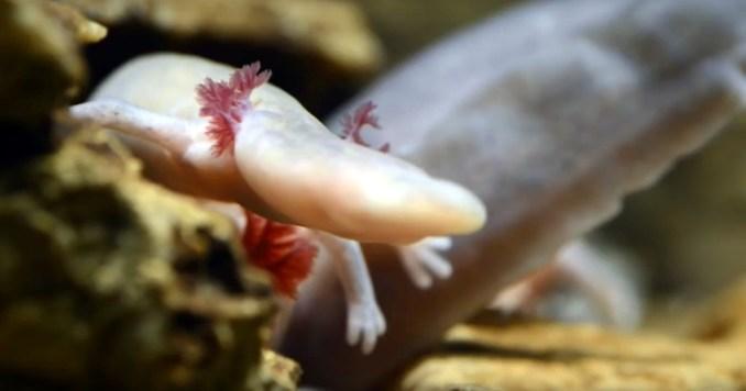 Proteus, animal endêmico do sul da Europa que pode ser encontrado em cavernas da região (foto: Postojnska jama Cave Grotte Höhle/Reprodução)