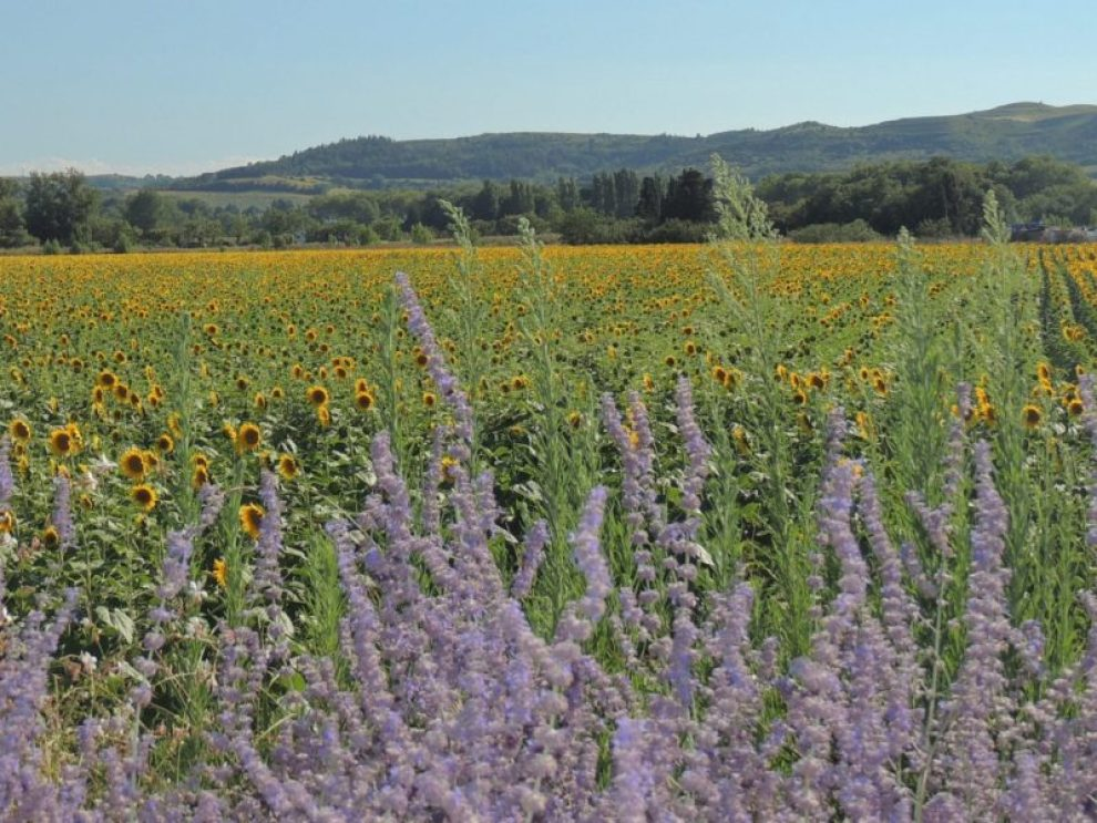 Campi di girasoli e lavanda nel sud della Francia