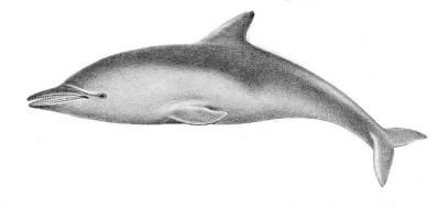 Delfino dai denti rugosi