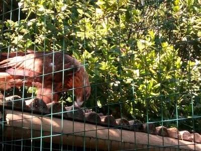 L'aquila e il suo pranzo, Parco Gallarose.