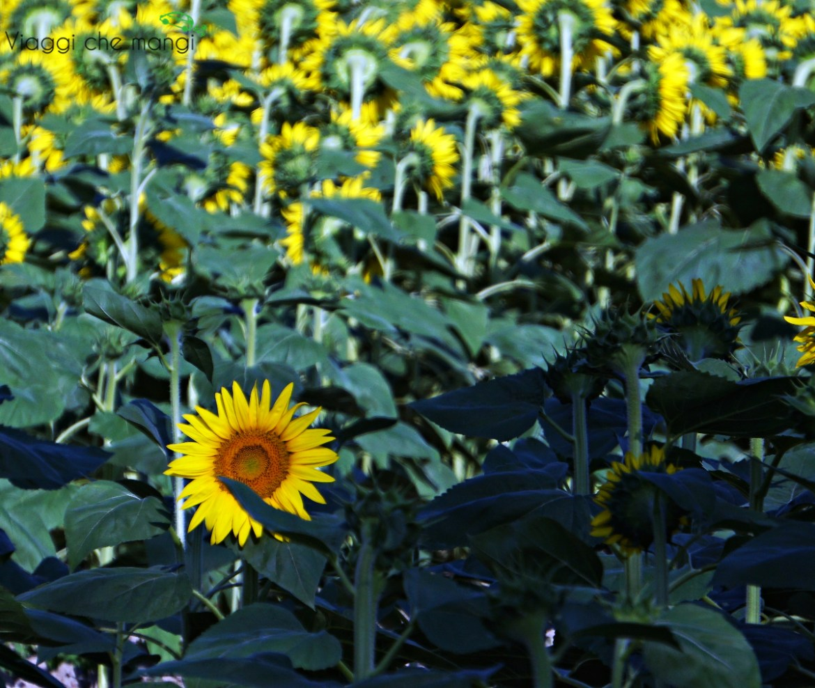 Girasoli_Massaciuccoli
