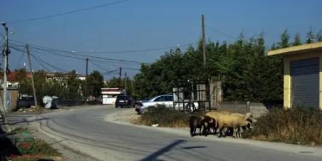 Pecore sulla strada per Plazhi i Generalit, Albania. La spiaggia non si può perdere durante una vacanze a durazzo