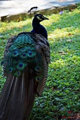 cosa fare sul lago di ohrid: camminare tra i pavoni del monastero di sveti naum