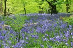 Lanhydrock - distesa di Bluebells Cornovaglia maggio 2014