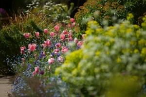 gravetye bordo tulip