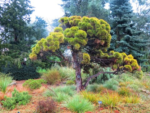 Cambridge Botanical Gardens conifers