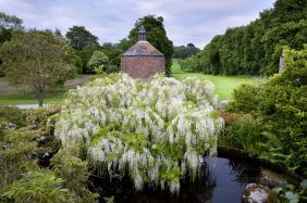 wisteria-at-antony-cornwall-national-trust-images-andrew-butler