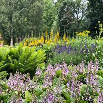 Hosta in fiore con Ligularia e felci