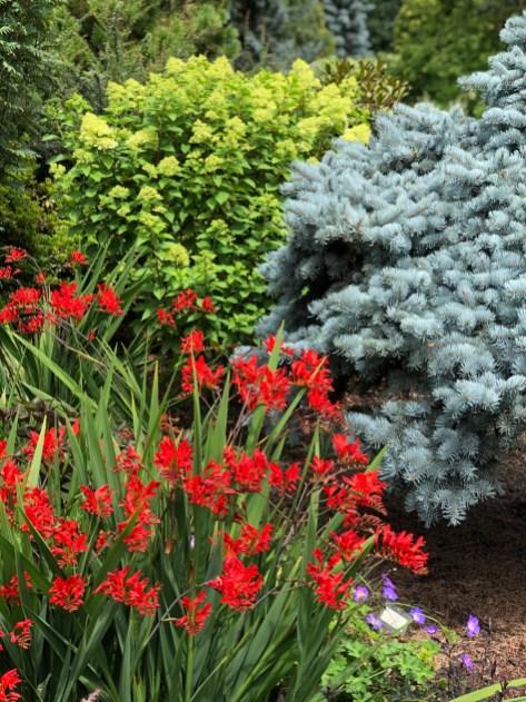 Crocosmia e Conifere