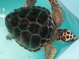 Artù, la splendida tartaruga Caretta Caretta ormai guarita e che a breve tornerà finalmente in mare. L'ho incontrata al Centro Recupero Tartarughe Marine di Brancaleone, gestito unicamente da giovani e bravissimi volontari.