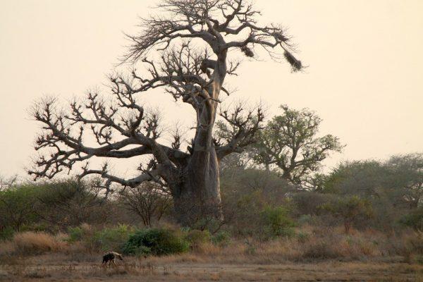 Baobab e iene in Senegal