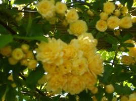 Rosal Banksiae en flor