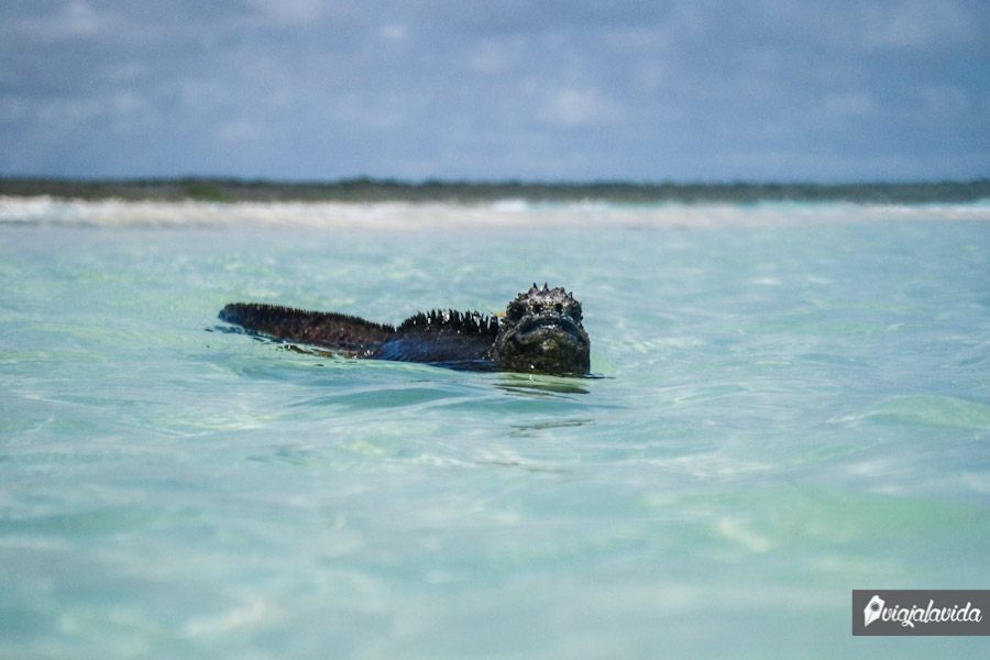 Iguana marina nadando