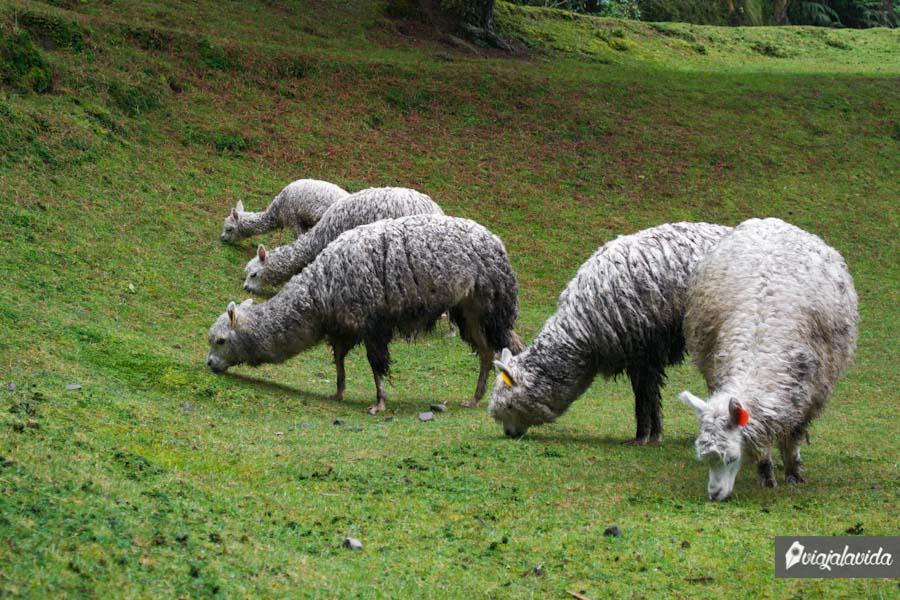 Animales de lana adaptados al frío