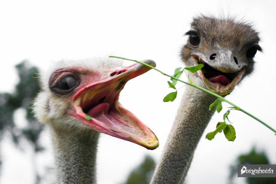 Avestruces comiendo con la boca abierta