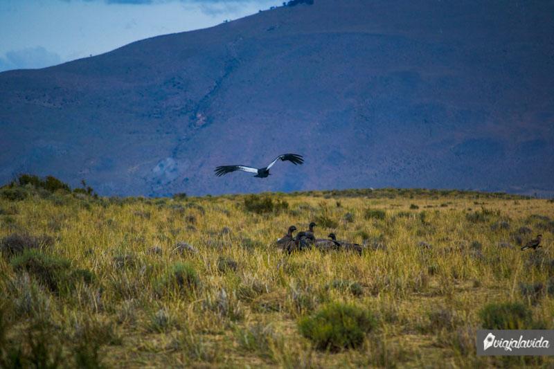 Cóndores cazando.