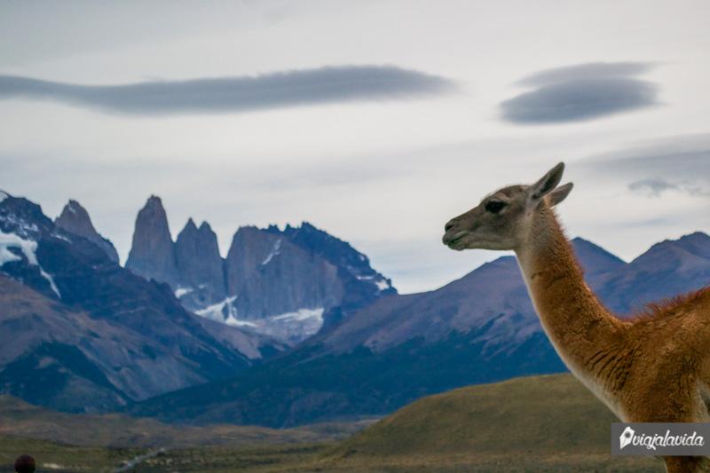 Animales en Torres del Paine.