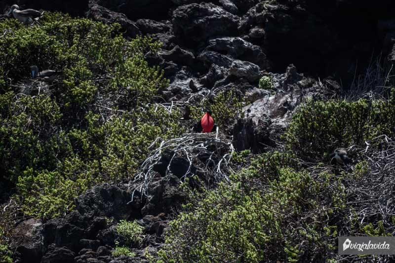 Fragata con el pecho hinchado, rojo.