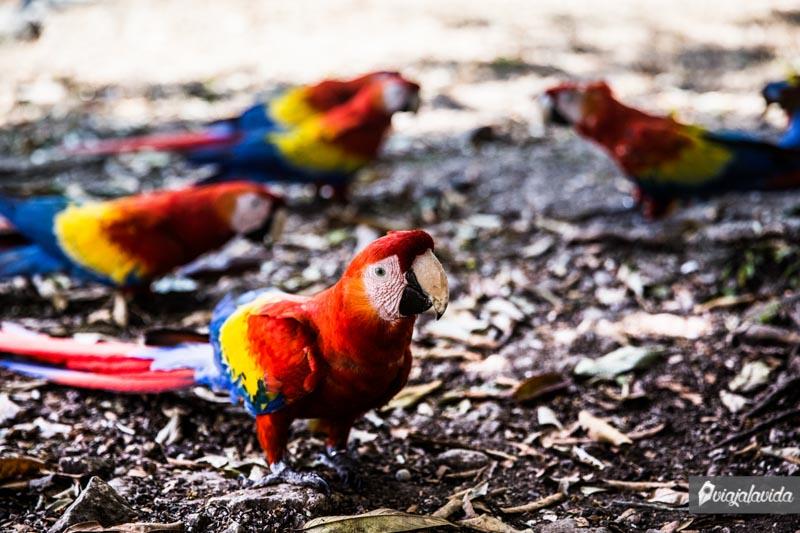 Papagayos en las Ruinas de Copán.