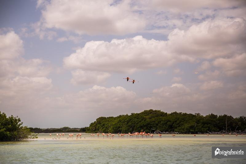 Flamencos volando en Río Lagartos.