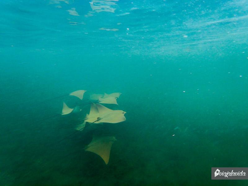 Rayas Doradas en Galápagos