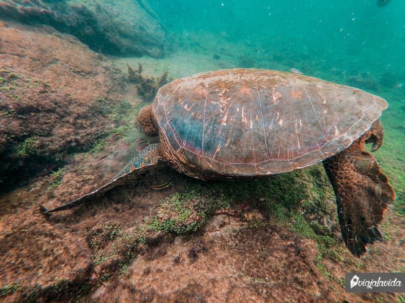 Tortuga marina alimentándose de peces