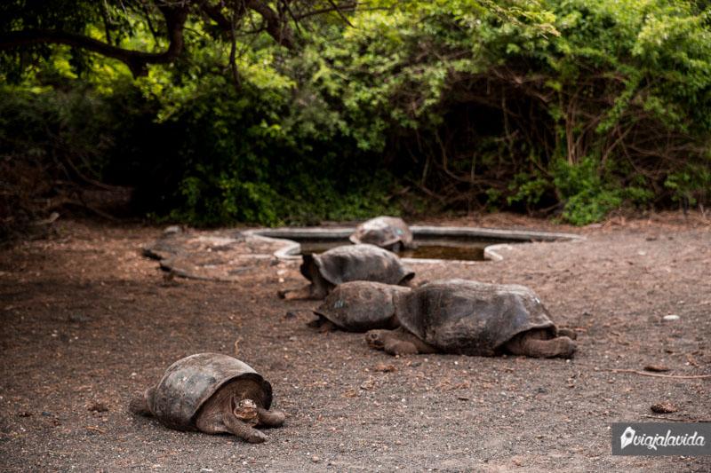 Tortugas Cinco Cerros en Isabela, Galápagos