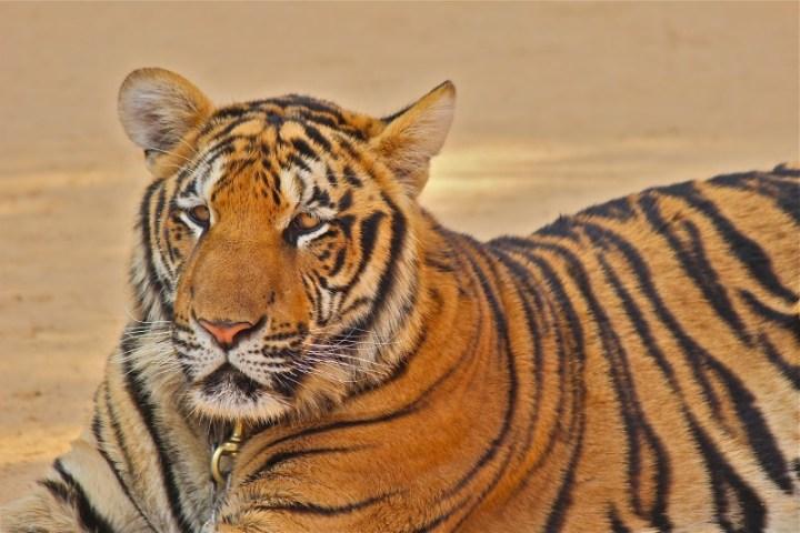 Todos os tigres ficam acompanhados de monitores. É (aparentemente) bem seguro.