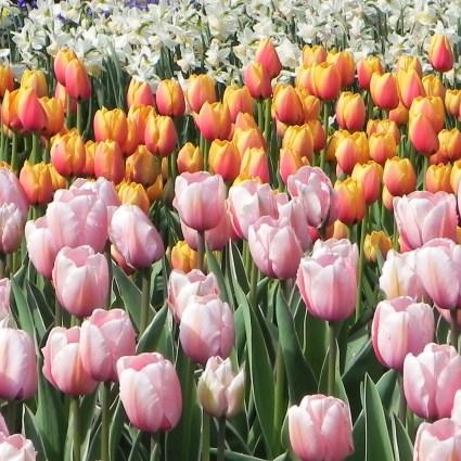 Keukenhof 2018: dicas sobre o maior e mais famoso jardim de tulipas da Holanda