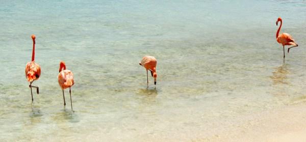 Flamingo beach, Aruba