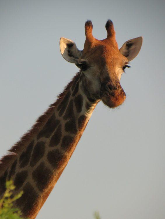 Roteiro para África do Sul e Moçambique_girafa_Viajando bem e barato