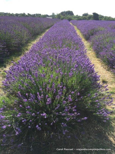 Mayfield-Lavender-Fields