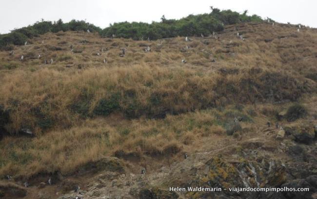 pinguinera-isla-de-chiloe