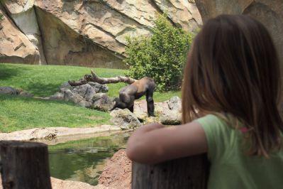 observando gorilas