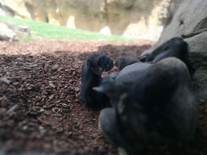 Gorila tumbado