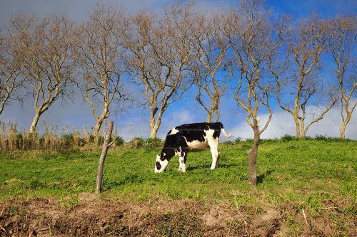 Vacas Sao Miguel