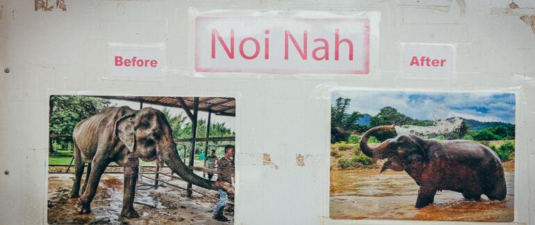 Painel do Elephant Nature Park mostrando o antes e o depois de Noi Nah, um elefante reabilitado (arquivo pessoal)