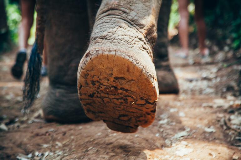 Pata de um elefante resgatado pelo Elephant Nature Park (arquivo pessoal)