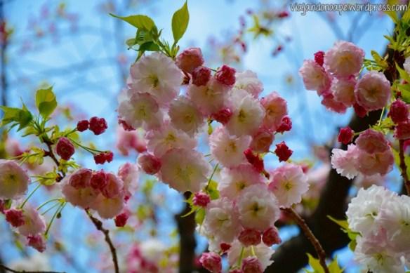 sakura_cerejeira_japão