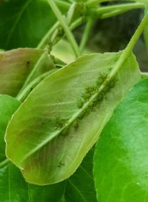 pulgao-verde-praga