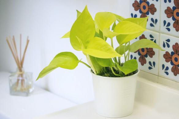 jiboia amarela decoracao plantas ambientes internos