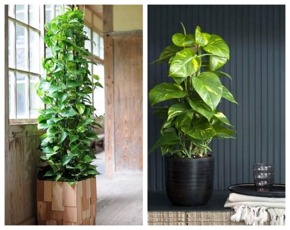 jiboia estaca tutor plantas decoracao ambientes fechados