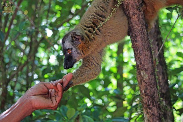 Lémur Parque Nacional Ranomafana