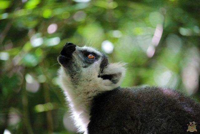 Lémur cola anillada Reserva de Anja