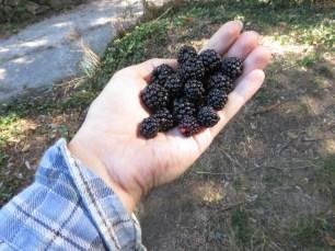 Freshly picked blackberries